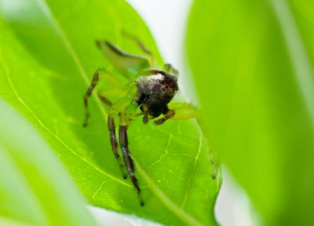 hairy legs: Macro of a male green jumping spider sitting on a leaf.