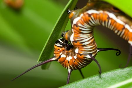 disturbed: A disturbed crow butterfly caterpillar, with its head curled into its body.