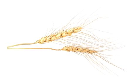 Ear of barley on white background
