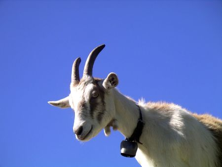 curiously: Goat looking curiously