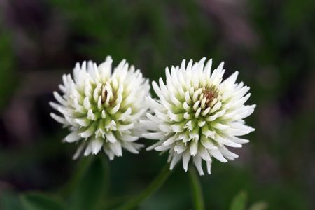 White Clover Twings Stock Photo - 2251351