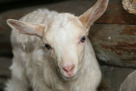 curiously: Young white goat looking curiously Stock Photo