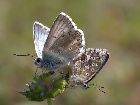 Close view of two butterflies (Lysandra coridon) bei der Fortpflanzung photo