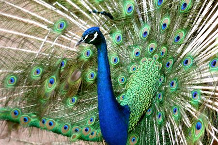 Close view of a beautiful, displaying male peacock photo