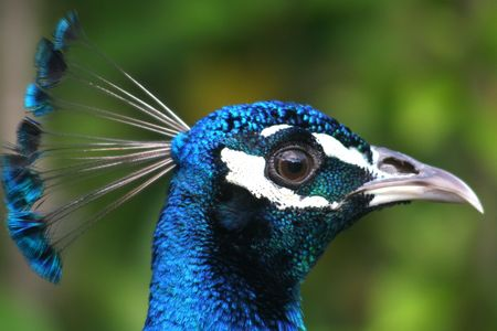 Portrait of a colorful male peacock photo