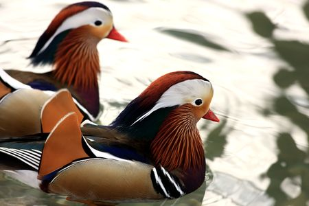 Two colorful mandarin ducks swimming close together in a lake
