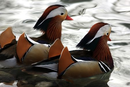 Two colorful mandarin ducks swimming close together in a lake photo