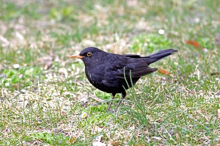 turdus: Close view of a blackbird in the grass Stock Photo