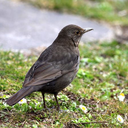 Close view of a blackbird in the grass Stock Photo
