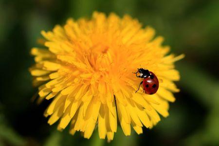 Colorful ladybug crawling on a yellow dandelion Stock Photo - 2781222
