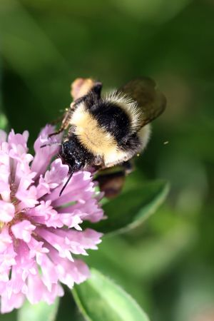 Close view of a bumblebee sucking nectar on a red clover  photo