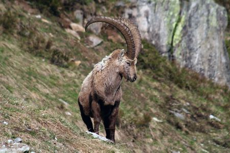looking around: Close view of an old capra ibex standing and looking around