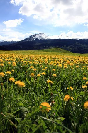 Field plenty of yellow dandelions in front of mountains covered with snow photo
