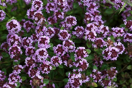 enhancer: Close view of wilde thyme