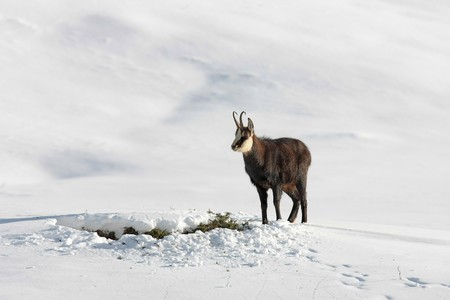 Chamois standing in the snow looking for food Stock Photo
