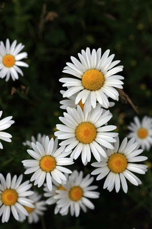 Frontal view of several marguerite flowers