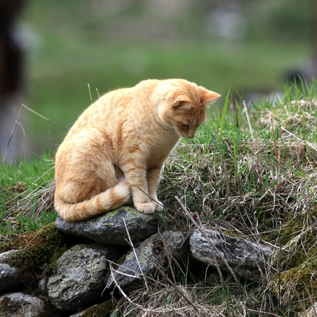 Orange cat sitting on a stone waiting for a mouse
