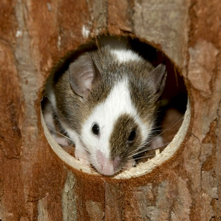 Mouse looking out of her his wood hut  Stock Photo