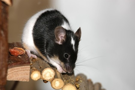 Black and white mouse eating