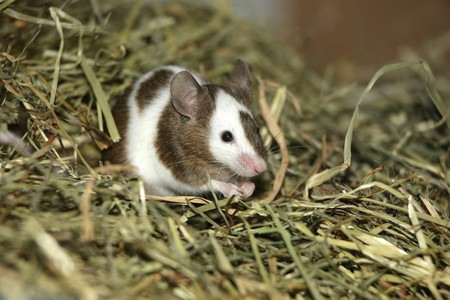 Young mouse sitting in the hay Stock Photo