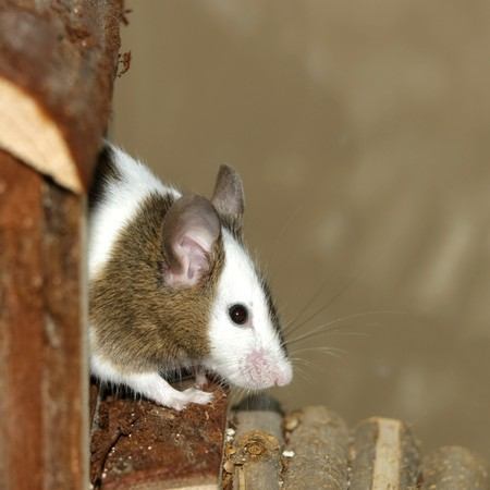 Young mouse coming out of his wood hut Stock Photo