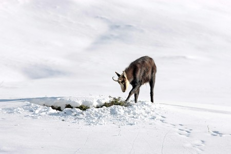 Chamois buck looking for food in the snow Stock Photo