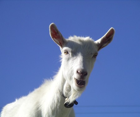 curiously: White goat looking curiously in front of a blue sky Stock Photo