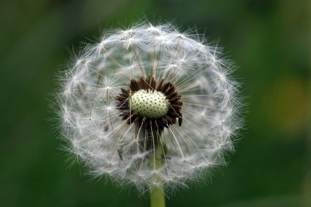 Close view of a wind dandelion on a green background