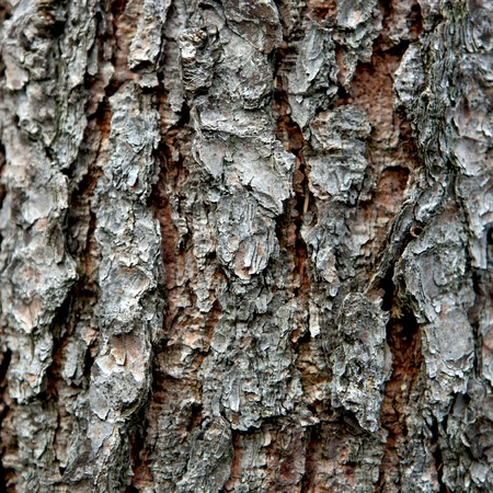 Close view of a pine bark