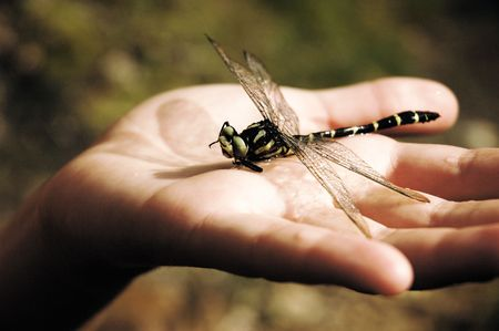 anisoptera: Detail of a hand, holding a dragonfly insect.