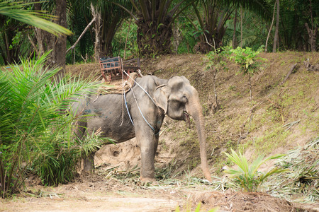 power giant: old elephant in harness in the jungle Stock Photo