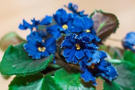 tender tenderness: flower blue violet Stock Photo