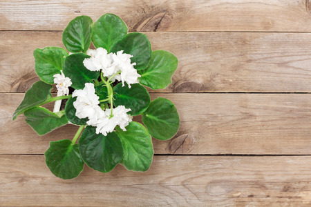 ligneous: White viola flower on old boards, flat lay Stock Photo