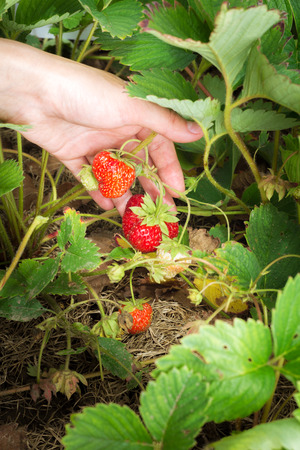 gathers: female hand gathers strawberries in the garden Stock Photo