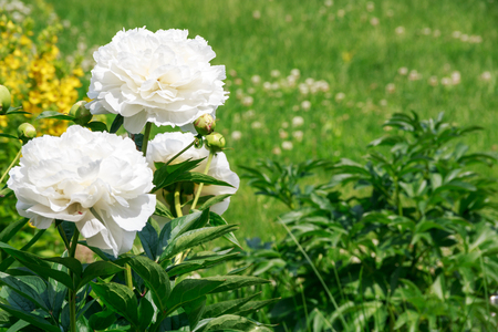 bouquet of white peonies on the green grass