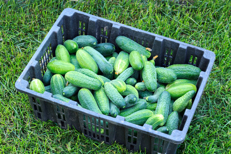 cucumbers in a box on a green lawn