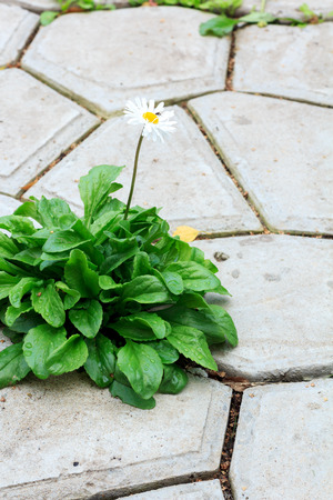 sprouted: lonely daisy flower sprouted through a concrete tile