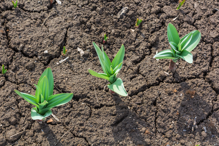 green shoots of tulips