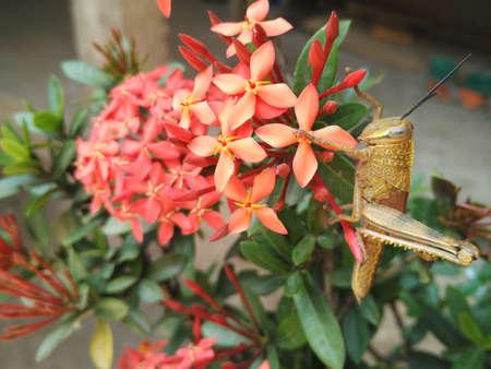 Golden grasshopper on red flowers