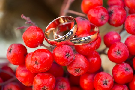 silver maple: gold wedding rings on a Rowan Stock Photo