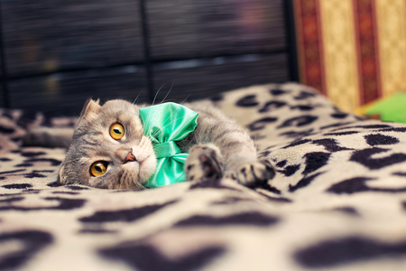 lop eared: beautiful striped cat with a green bow Stock Photo