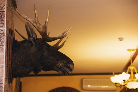 Stuffed moose head on the wall
