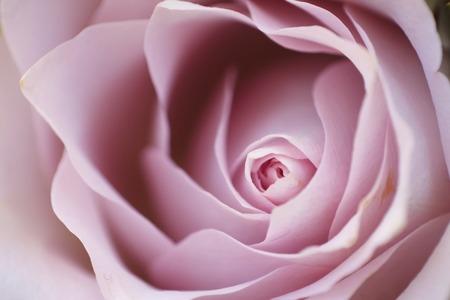 Brote de una rosa rosa de cerca
