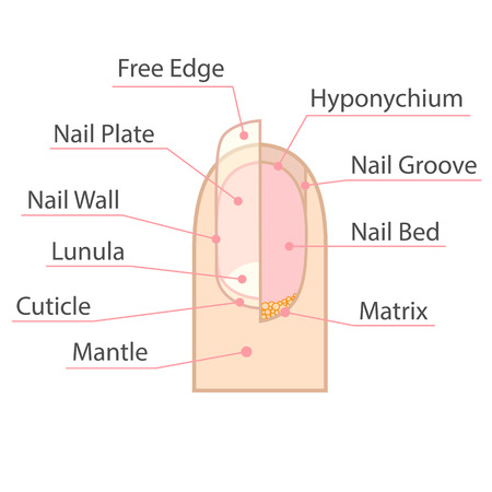 stratum: Structure and anatomy of human nail. Color medical scheme on white background. Isolated illustration.
