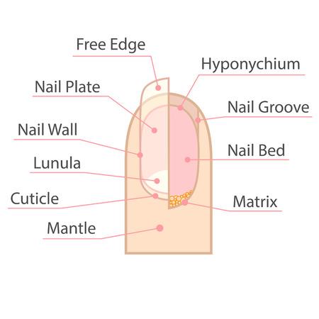 Structuur en anatomie van de menselijke nagel. Color medische regeling op een witte achtergrond. Geïsoleerde illustratie. Vector Illustratie