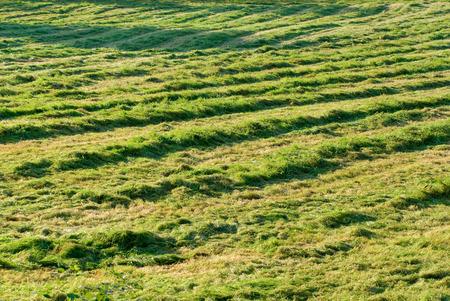 Fresh mowed hay in the sunshine. photo