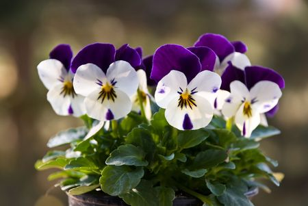 young pansies photo