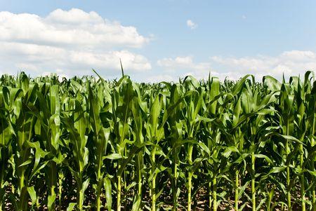 seasoned: corn field