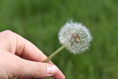 A dandelion on green in the Wind Stock Photo - 4818814