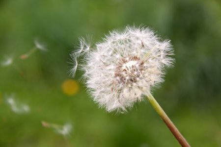 A dandelion on green in the Wind